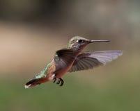 fågel som surr Arkivbild