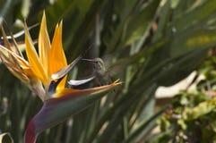 fågel som surr Royaltyfria Bilder