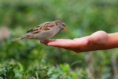 fågel som ut äter handen Royaltyfri Foto
