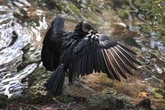 Fågel som utvidgar hans vingar Arkivbild