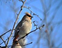 fågel som waxwing Royaltyfria Bilder