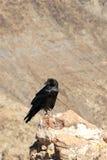 fågel svarta Death Valley Royaltyfria Bilder