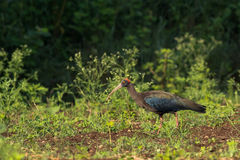 fågel svarta ibis Arkivfoto