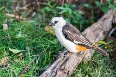 Fågel - vit hövdad buffelvävare arkivfoton