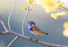 Fågelallsånger arbeta i trädgården på våren den blommande ljusa gula trädbehån Royaltyfria Bilder