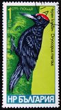 Fågelart av hackspetter, Dryocopos martius, circa 1978 Royaltyfria Bilder