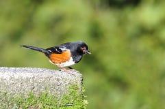 fågelblack capped ner att se Arkivfoton