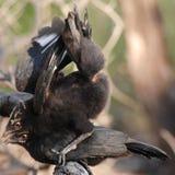 fågelblack som leker två Royaltyfri Foto