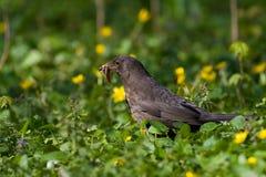 fågelblackbird Arkivbilder