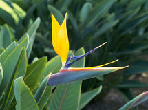 fågelblommaparadis Arkivfoto