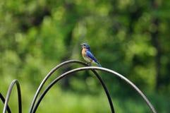 fågelblue Fotografering för Bildbyråer