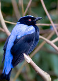 fågelblue royaltyfri foto
