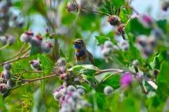 FågelBluethroat royaltyfria foton