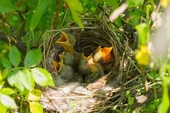 Fågelbo med gröngölingar Royaltyfri Bild