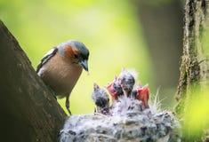 Fågelbofinken matar dess unga hungriga fågelungar i redet i Arkivfoto