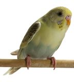 fågelbudgie Arkivbilder