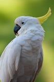 fågelcacatuafokus Arkivfoton