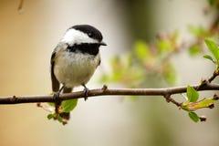 fågelchickadee Arkivfoto