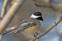 fågelchickadee Royaltyfria Bilder