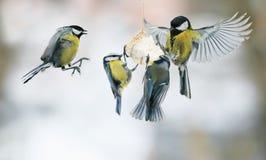 Fågelchickadees flyger upp och äter fettet i vinter parkerar Royaltyfri Fotografi