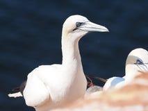 Fågelcolonie på ön Helgoland Royaltyfri Foto