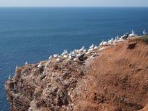 Fågelcolonie på ön Helgoland Arkivfoto