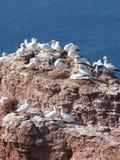 Fågelcolonie på ön Helgoland Arkivfoton