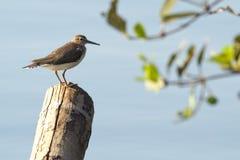 fågelcommonsandpiper Royaltyfri Fotografi