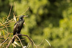 fågelcormorant Royaltyfria Foton
