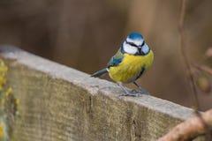 FågelCyanistes för blå mes caeruleus Royaltyfri Foto