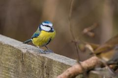 FågelCyanistes för blå mes caeruleus Royaltyfri Bild