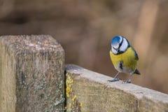 FågelCyanistes för blå mes caeruleus Arkivbild
