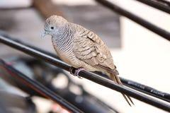 Fågelduva på kraftledningnärbilden royaltyfri fotografi