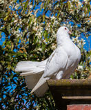 Fågelduva på taklägga Arkivfoto