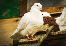 Fågelduva på taklägga Royaltyfri Bild