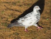 Fågelduva på taklägga Arkivbilder