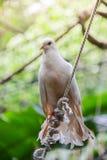 Fågelduva på taklägga Arkivfoton