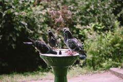 Fågelduvor dricker vatten från en springbrunn för att dricka arkivbild
