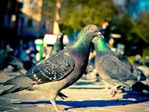 Fågelduvor på gatorna av staden Arkivbild