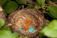 fågelfågelungerede ett Royaltyfria Bilder