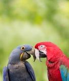 fågelförälskelse Royaltyfria Foton
