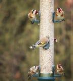 Fågelförlagematare mycket av steglits Arkivfoton