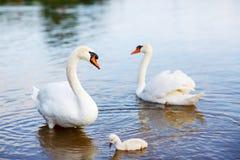Fågelfamilj: svanar och ung svan, på en sjö Royaltyfria Bilder