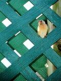 fågelfinchbarn Royaltyfria Foton