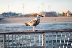 Fågelfiskmås på havet i New York royaltyfri fotografi