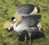 fågelfjäder Royaltyfria Bilder
