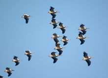 fågelflockflyg Arkivfoton