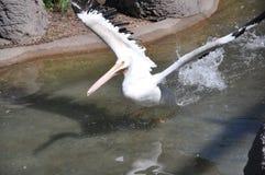 Fågelflyg in i vatten arkivbild