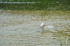 Fågelflyg på vatten Royaltyfria Bilder