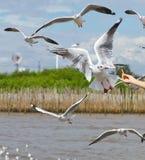 fågelflygseagull Fotografering för Bildbyråer